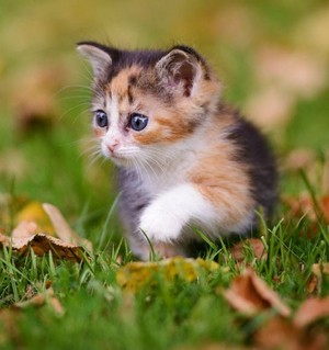 adorable calico anak kucing