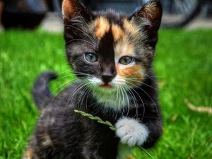 adorable calico chatons