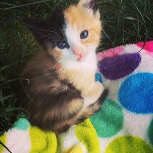 adorable calico Kätzchen