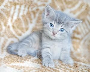 adorable gray kittens