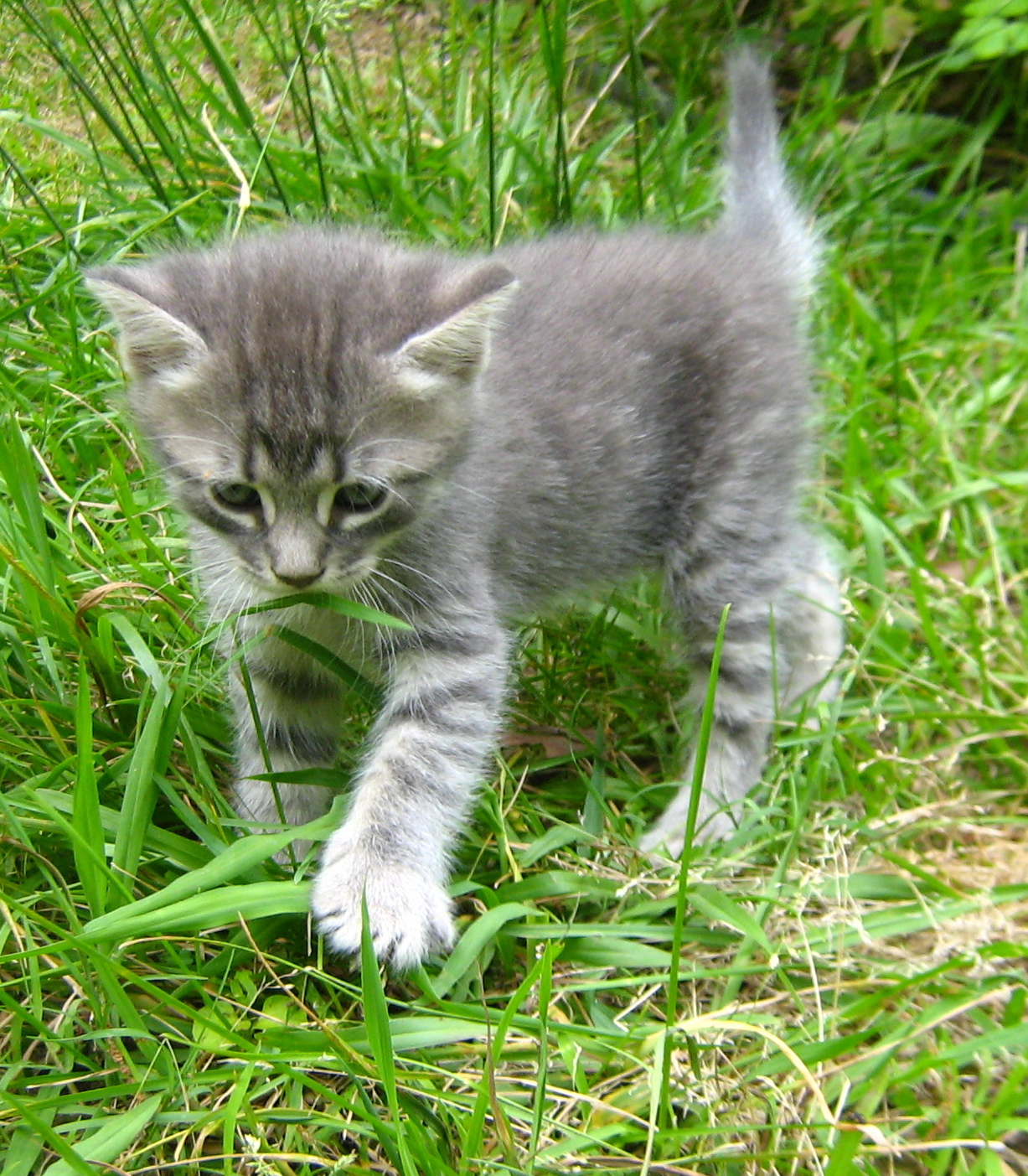 cute kittens images adorable gray kittens hd wallpaper and background photos