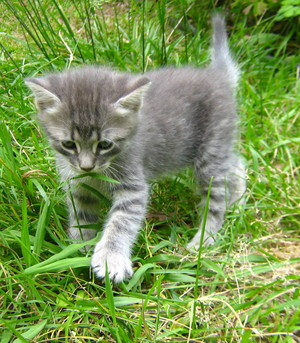 adorable gray kittens
