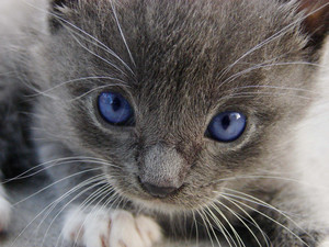 adorable gray 小猫