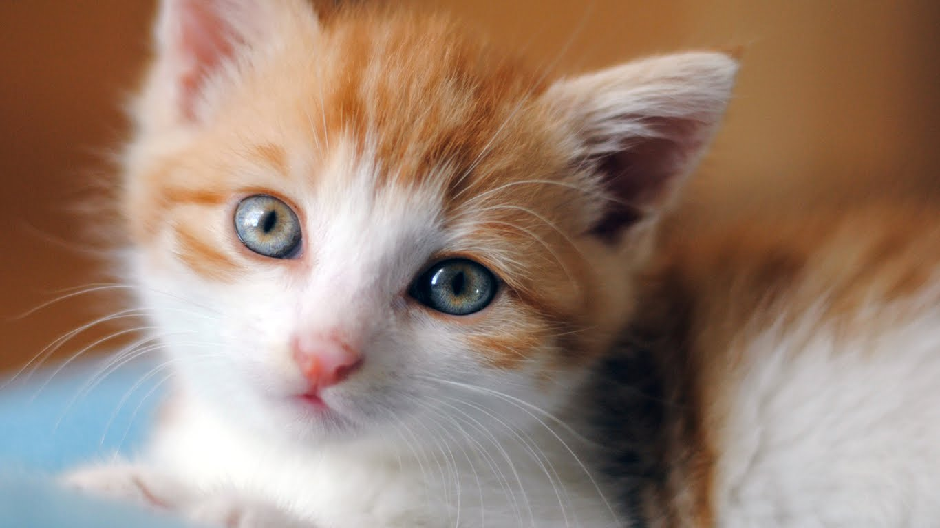 Cute Kittens Images Adorable Kitten Hd Wallpaper And Background