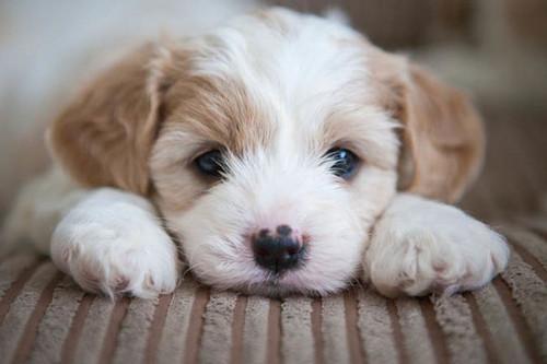 Cute chó con hình nền entitled adorable chó con