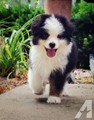 aussie shepard puppies - cute-puppies photo