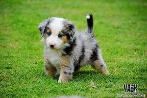 aussie shepard puppies