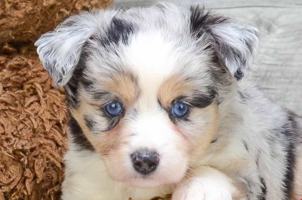 Aussie Shepherd Puppies - Goldenacresdogs com