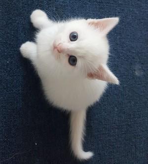 beautiful 고양이