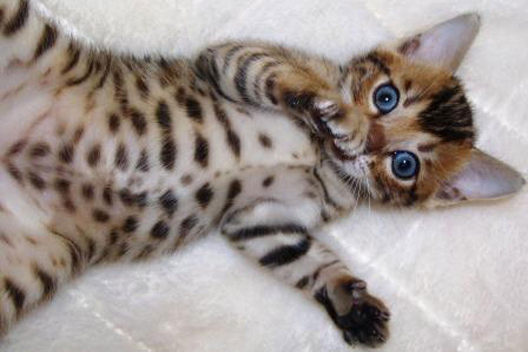 bengal kittens - Cute Kittens Photo (41543887) - Fanpop