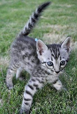 bengal anak kucing