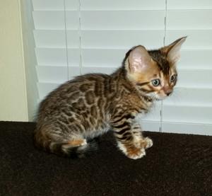 bengal chatons