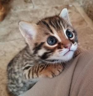 bengal gatitos