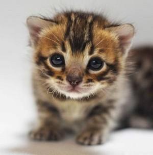 bengal 子猫