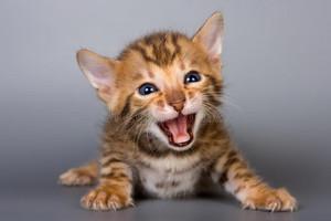 bengal mèo con