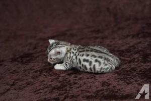 bengal 고양이