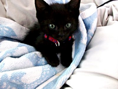 Black Kittens Kittens Photo 41503199 Fanpop