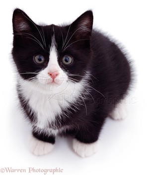 cute black and white 子猫