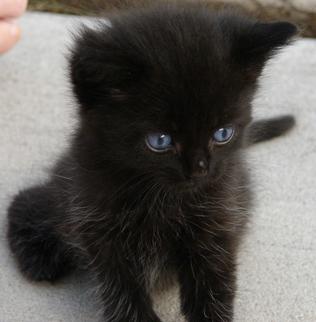 Cute Black Kittens Kittens Photo 41556714 Fanpop