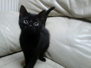 cute black anak kucing