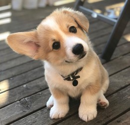 cute corgi cachorritos