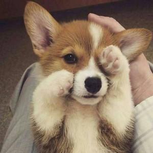 cute corgi chó con