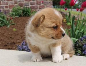 cute corgi 강아지