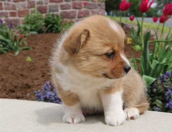 cute corgi puppies - Cute Puppies Photo (41541135) - Fanpop