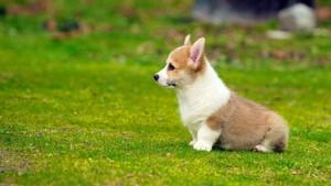 cute corgi anak anjing