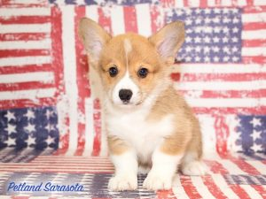 cute corgi 子犬