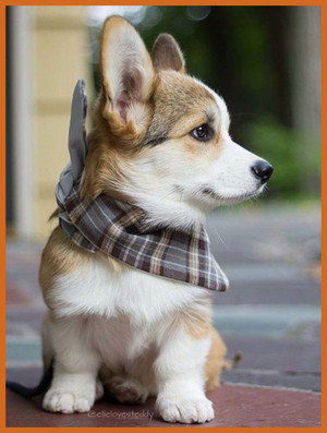 cute corgi 小狗