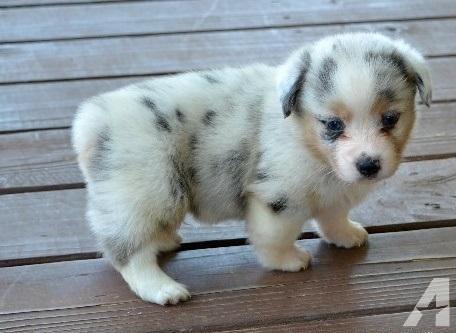 cute corgi puppies