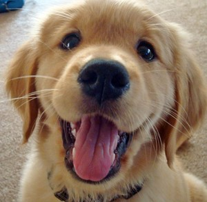 cute golden retriever chiots