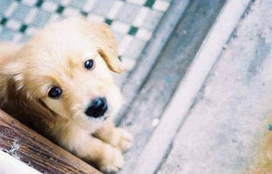 cute golden retriever 강아지