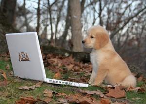 cute golden retriever cachorrinhos