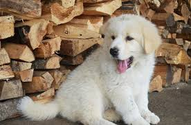 cute golden retriever anak anjing