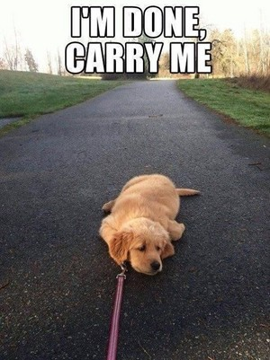 cute golden retriever 子犬