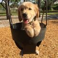 cute golden retriever Cuccioli