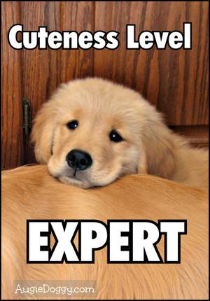 cute golden retriever cachorritos