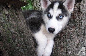 cute husky anak anjing