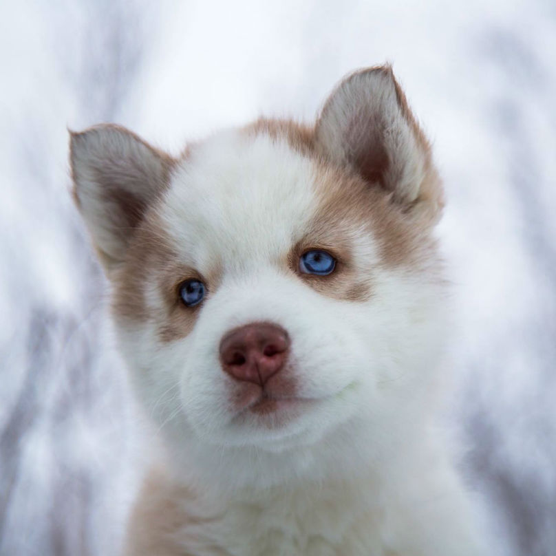 Cute Puppies Images Cute Husky Puppies Hd Wallpaper And Background