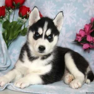 cute husky chó con