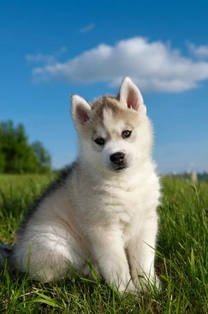 cute husky Welpen