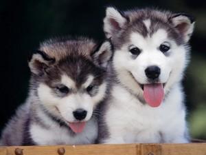 cute husky puppies