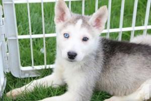 cute husky Щенки