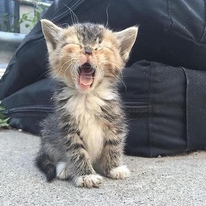 cute kitty yawns