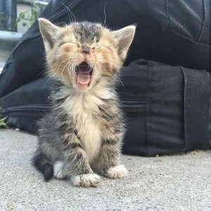 cute yawning kitten