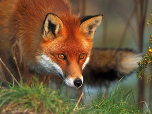 rubah, fox screensaver 22