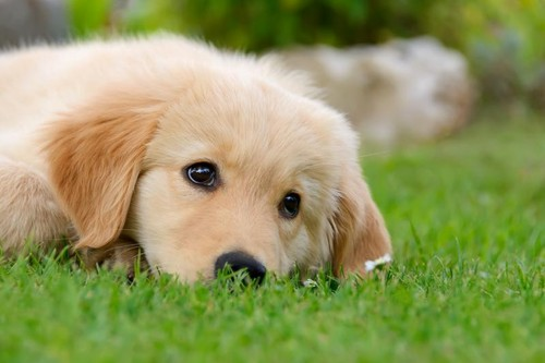 Golden Retrievers wallpaper entitled golden retriever puppies