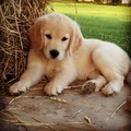 golden retriever Cuccioli
